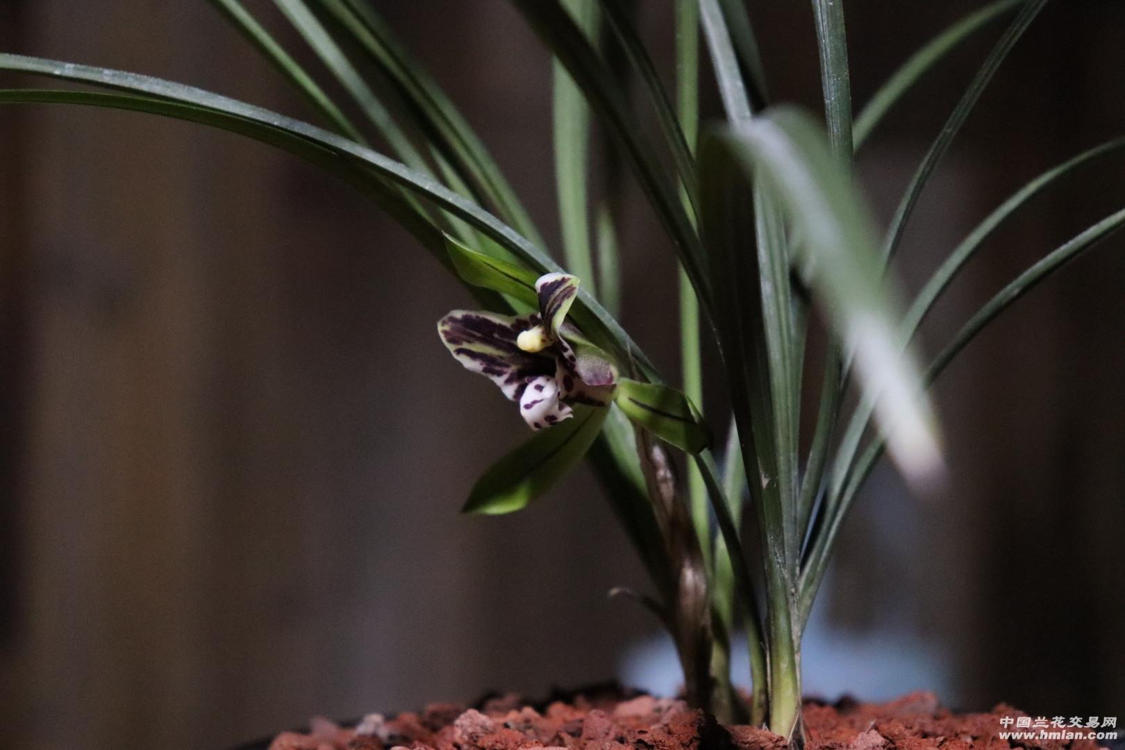 有价值的兰花的花怎么分辩,因该是啥样?  怎么判断兰花价值